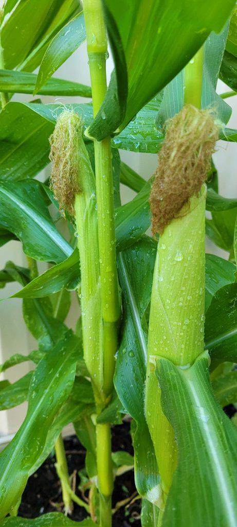 Brown corn silks